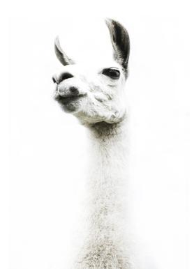 Llama I toile