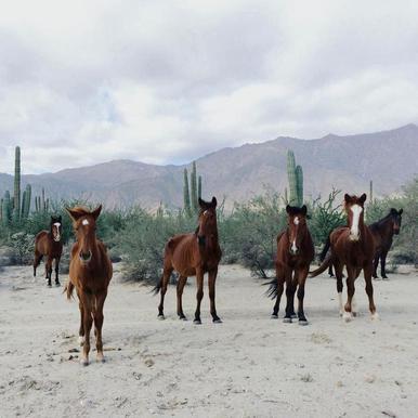 Bahía de los Ángeles Wild Horses canvas doek