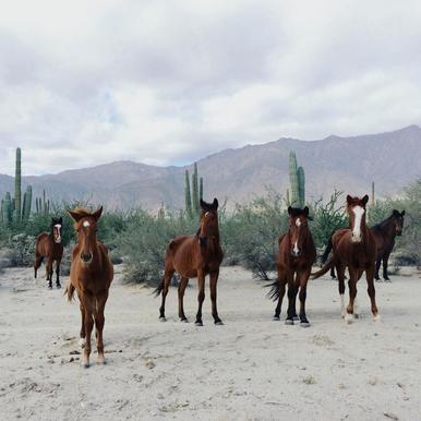 Bahía de los Ángeles Wild Horses acrylglas print