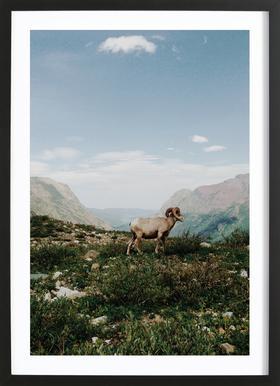 Bighorn Sheep ingelijste print
