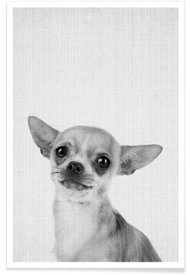 Chihuahua Black & White Photograph Poster