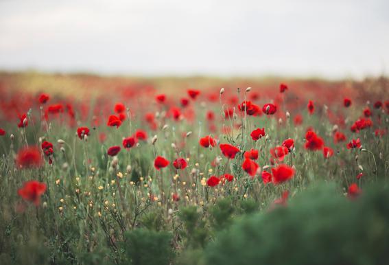 Poppy Field Impression sur acrylique