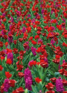 Tulip Field Red Canvas Print