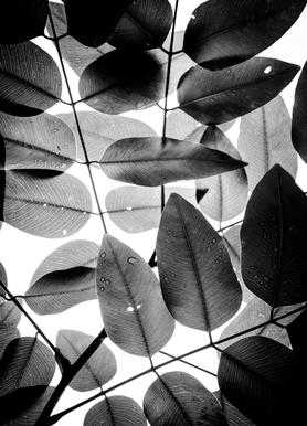 Experiments with Leaves II toile