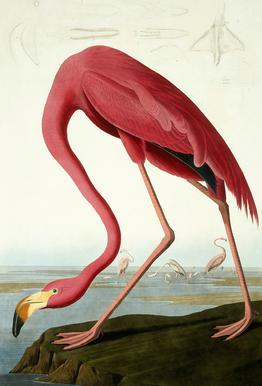 American Flamingo (by List Collection) Acrylic Glass Print