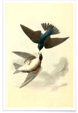 White-bellied Swallow (by List Collection) Poster