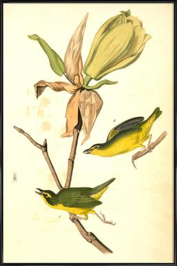 Kentucky Flycatching-Warbler (by List Collection) Affiche sous cadre standard