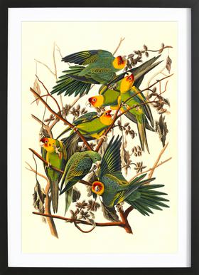 Carolina Parrot, 1827 (by List Collection) Poster in houten lijst