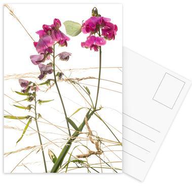 Flora - Duftende Platterbse Postcard Set