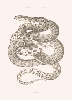 Reptiles - Plate XXII -Leinwandbild