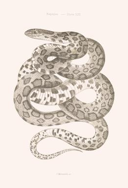 Reptiles - Plate XXII Alu-Dibond Druck