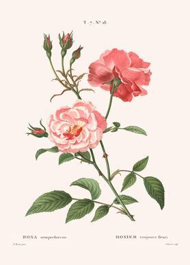 Rosier - Toujours Fleuri Canvas Print