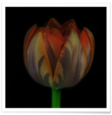 Tulip Affiche