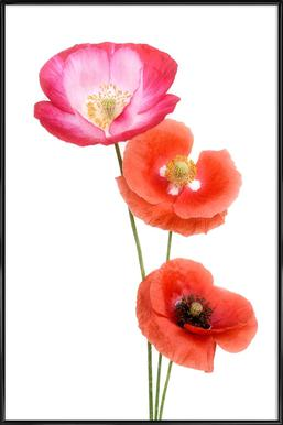 Colourful Poppies Affiche sous cadre standard