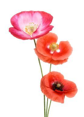 Colourful Poppies Impression sur toile