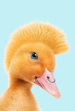 Rebel Duckling -Alubild