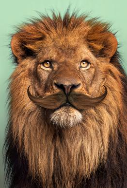 Bearded Lion Plakat af aluminum