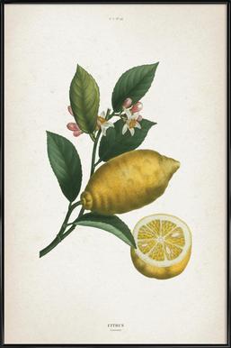 Citrus Limonium - Redouté ingelijste poster