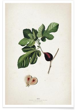 Ficus - Ehret affiche