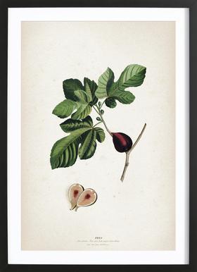 Ficus - Ehret Framed Print