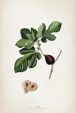 Ficus - Ehret Aluminium Print