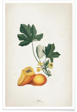 Papaya - Ehret Poster