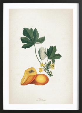Papaya - Ehret Framed Print