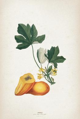 Papaya - Ehret tableau en verre