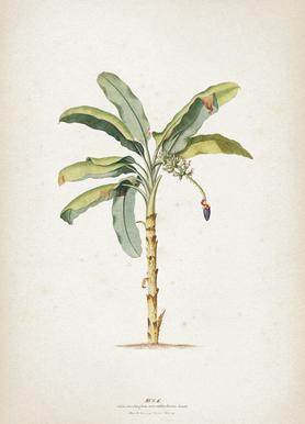 Musae Maculato - Ehret toile