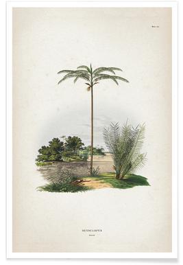 Oenocarpus Bataua - Martius affiche