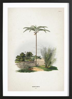 Oenocarpus Bataua - Martius affiche sous cadre en bois