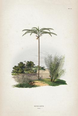 Oenocarpus Bataua - Martius Acrylic Print