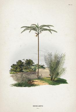 Oenocarpus Bataua - Martius Impression sur alu-Dibond