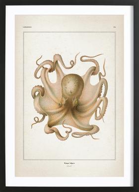 Octopus Vulgaris - Vérany Framed Print