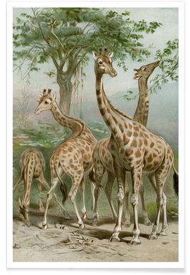 Giraffe - Brehm Poster