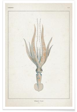 Loligopsis Veranii - Vérany Poster