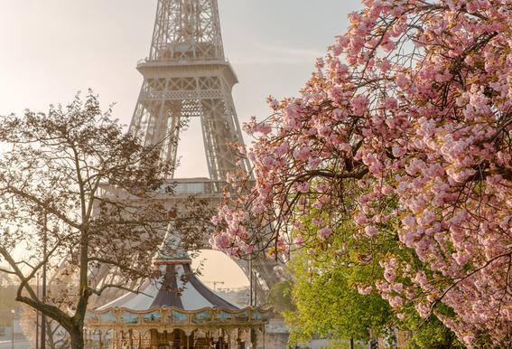 Cherry Blossom Aluminium Print