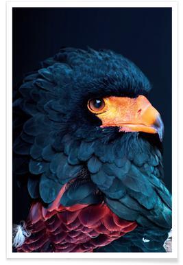 Bateleur Eagle Affiche
