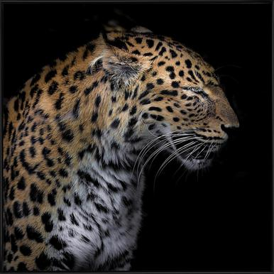 Leopard Profile by Lothare Dambreville Framed Poster