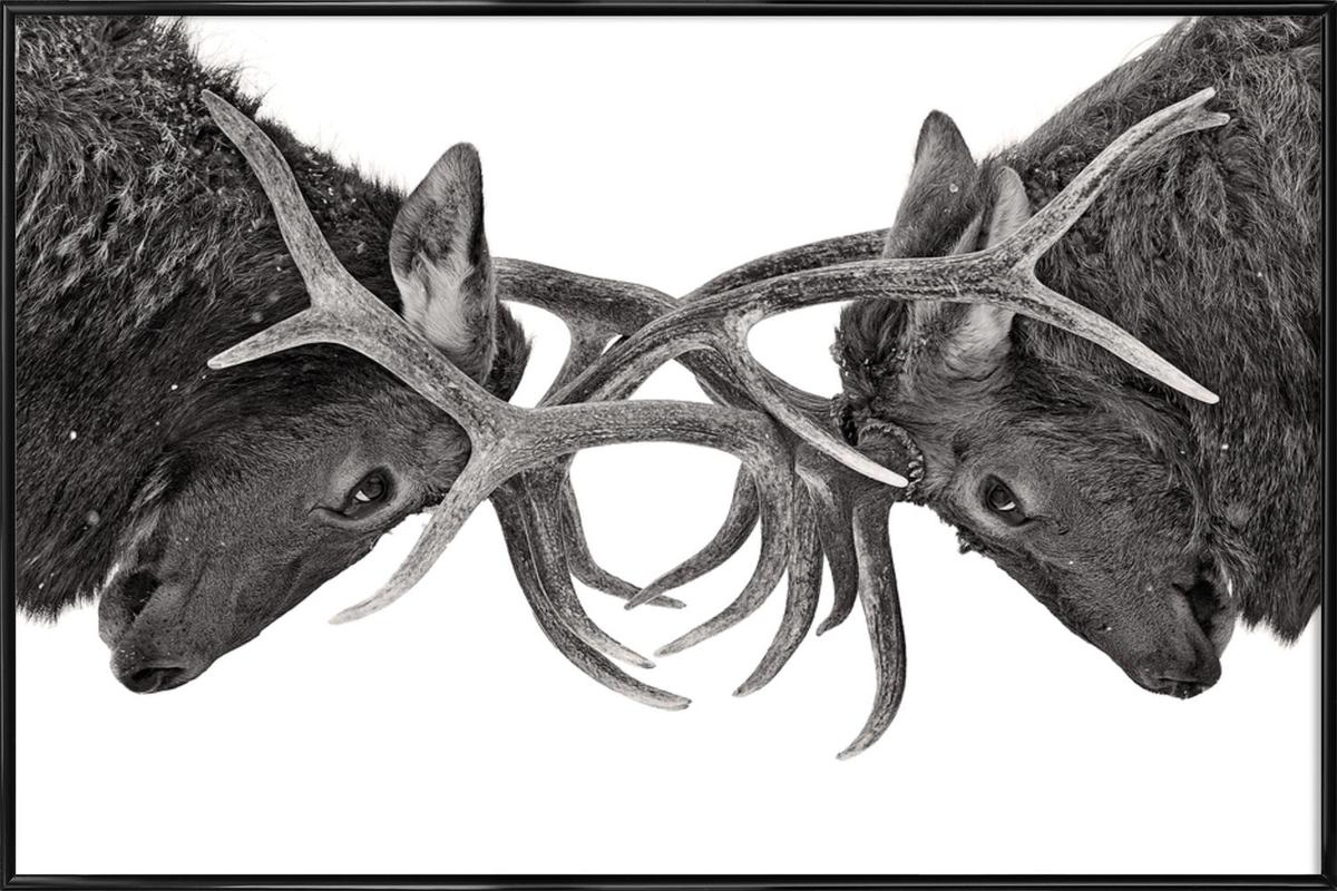 Eye to Eye - Elk Fight - Jim Cumming -Bild mit Kunststoffrahmen
