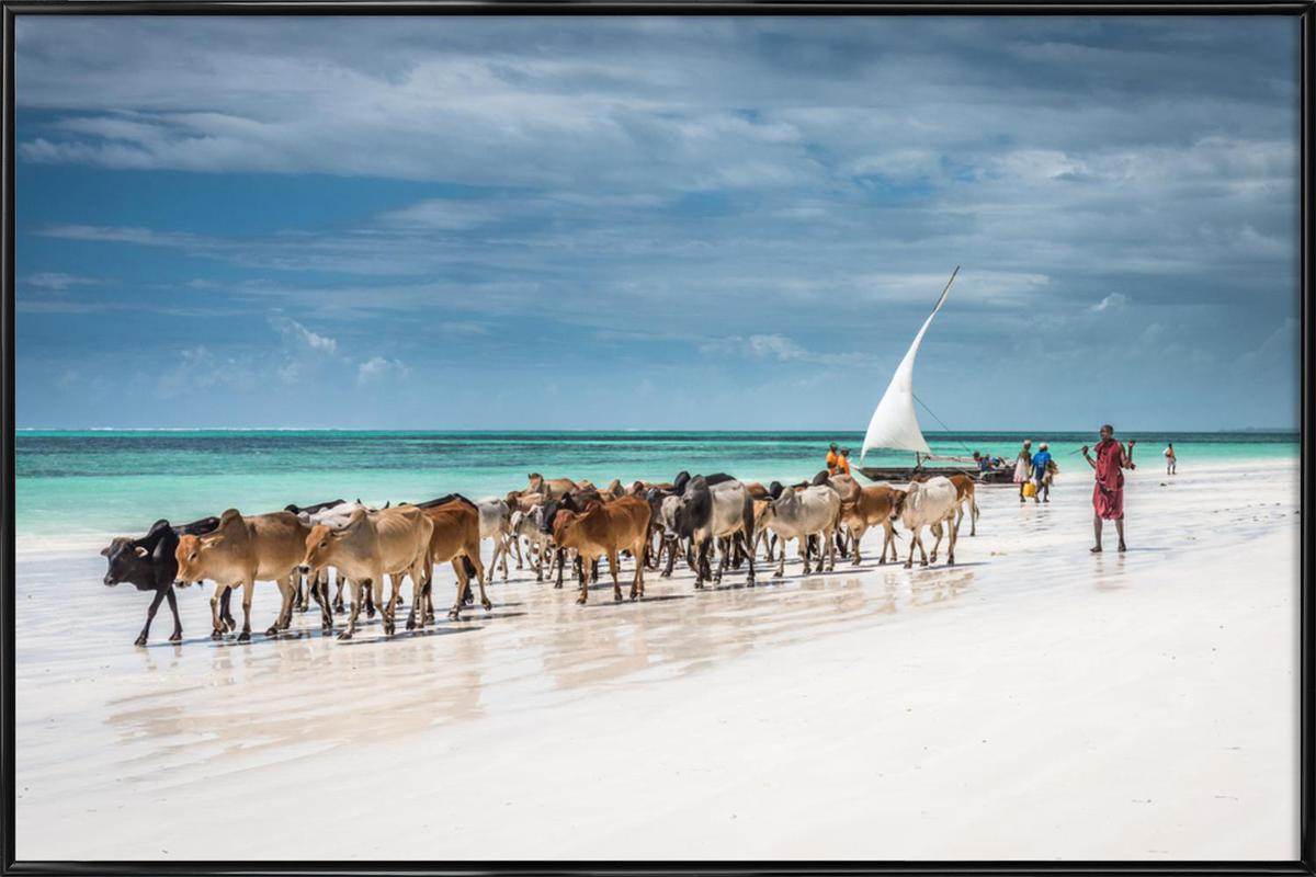 Masai Cattle on Zanzibar Beach Framed Poster