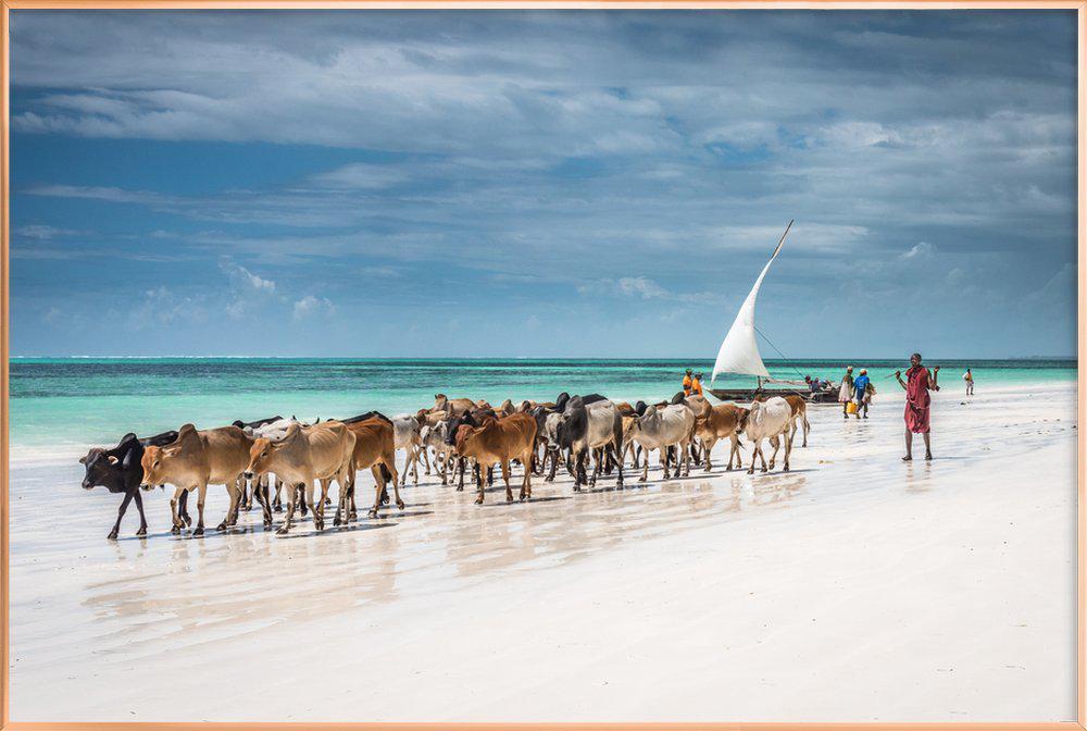 Masai Cattle on Zanzibar Beach -Poster im Alurahmen