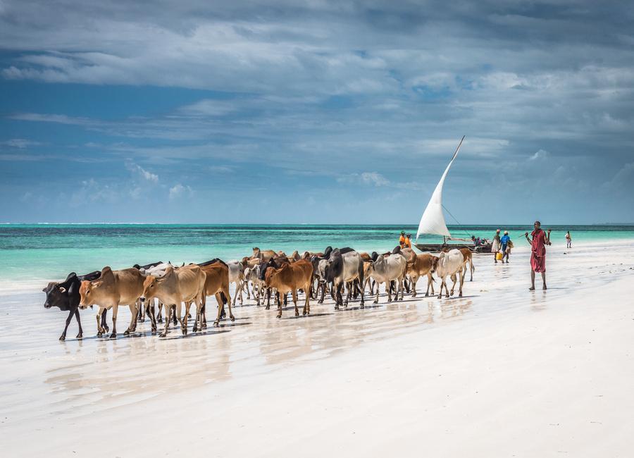 Masai Cattle on Zanzibar Beach Canvas Print