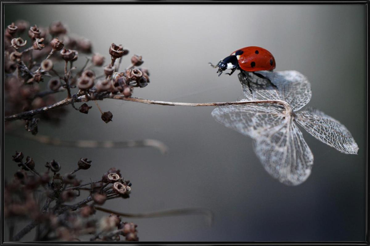 Ladybird on Hydrangea - Ellenvan Deelen ingelijste poster
