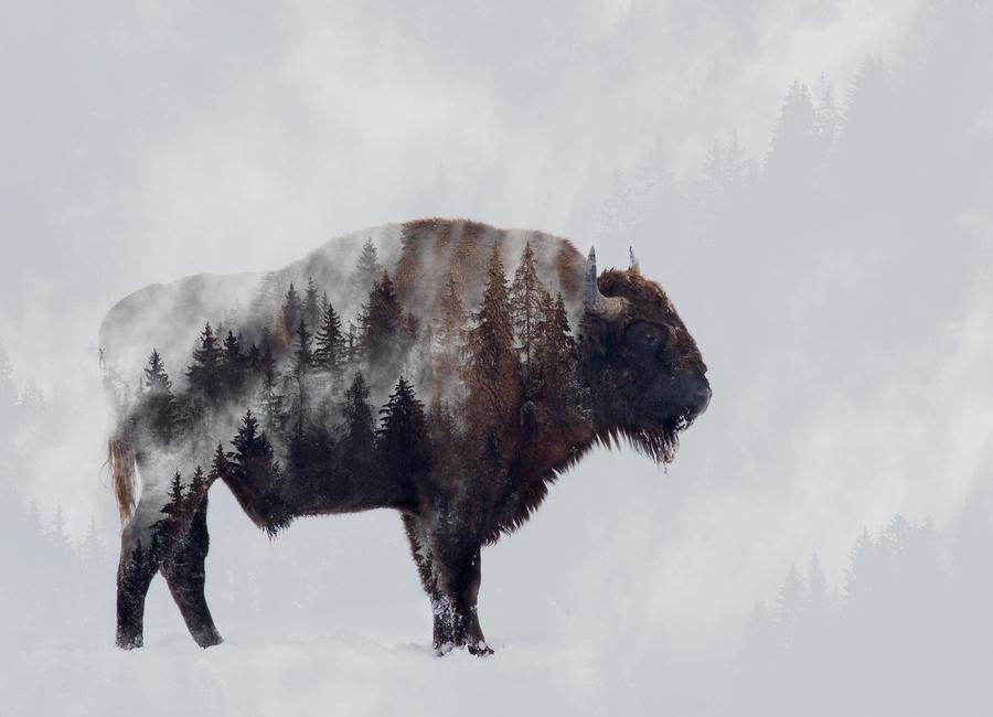 Bison - Double Exposure - AngyalosiBeáta Canvas Print