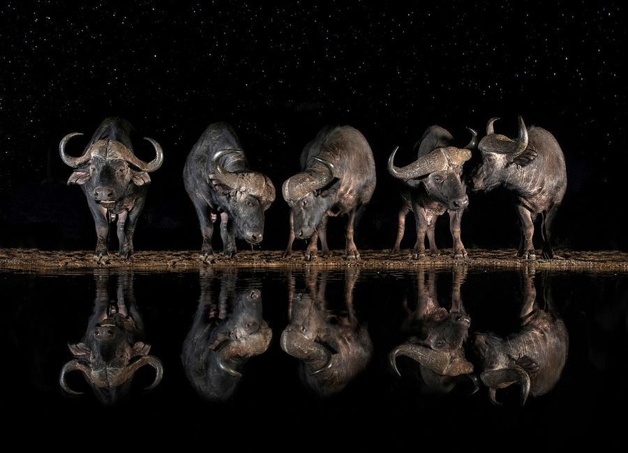 Buffaloes in the Waterhole at Night - Xavier Ortega -Leinwandbild