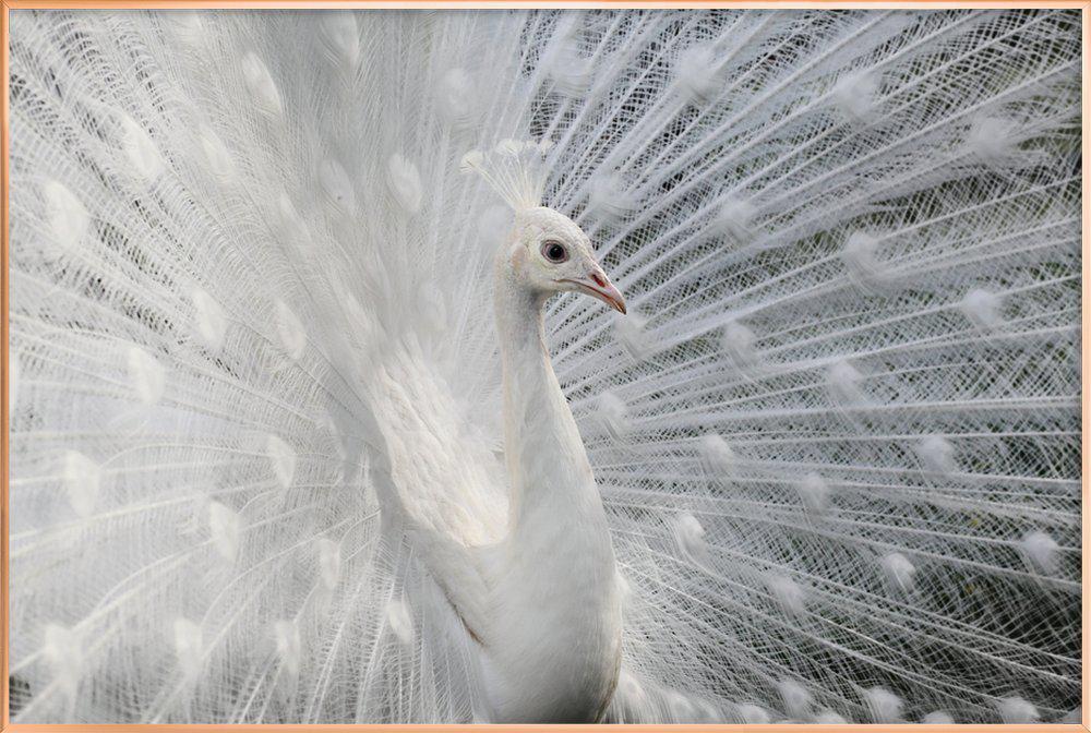 As White As Snow - VictoriaI Vanova Poster in Aluminium Frame