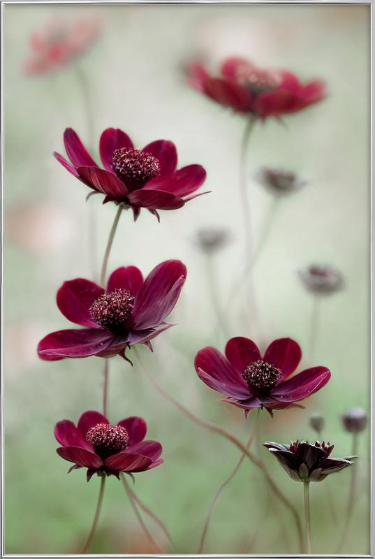 Cosmos Sway - Mandy Disher Poster in Aluminium Frame