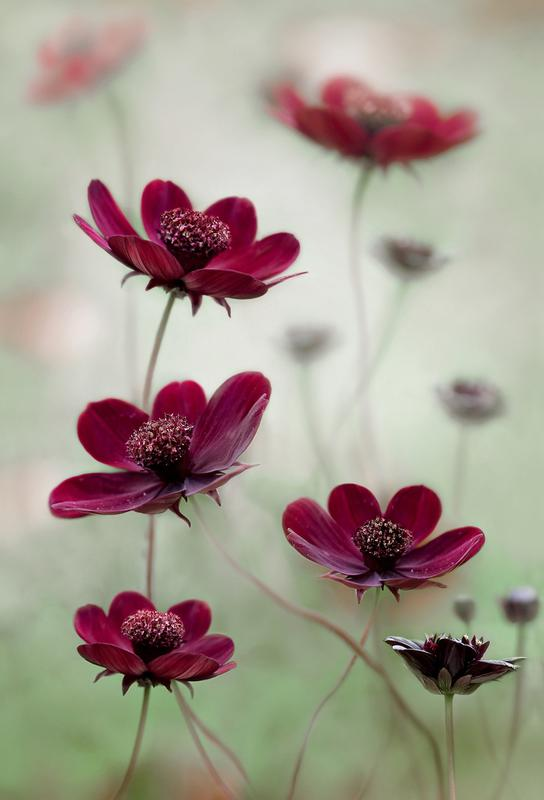 Cosmos Sway - Mandy Disher Acrylic Print