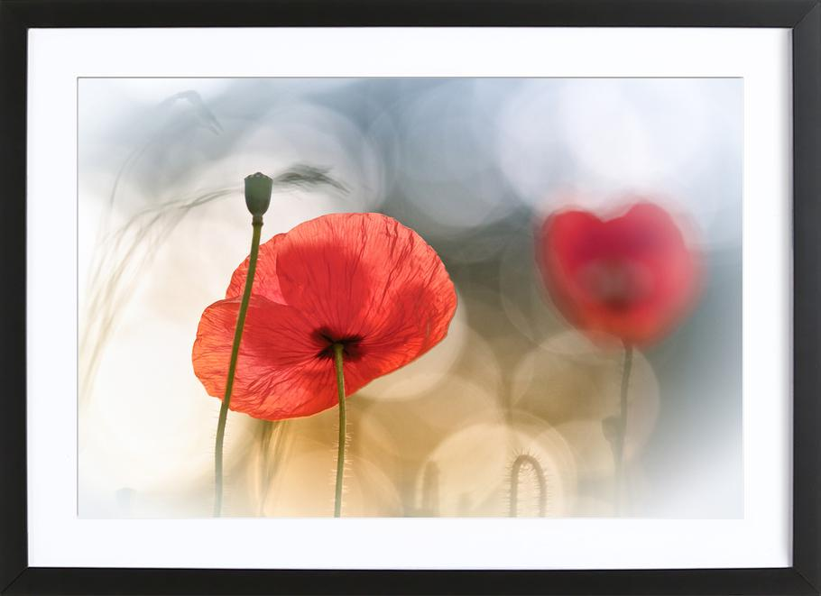 Morning Poppies - Steve Moore affiche sous cadre en bois